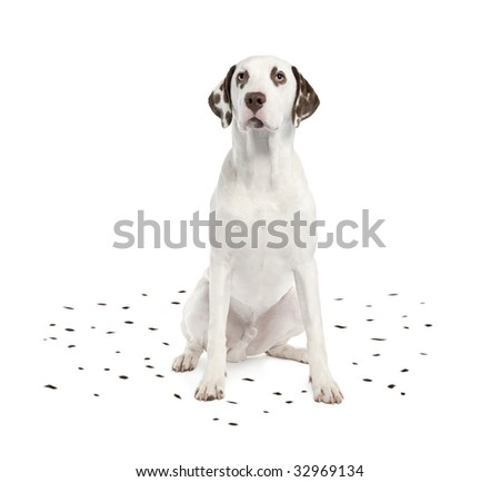 Dalmatian shedding its spots in front of a white background