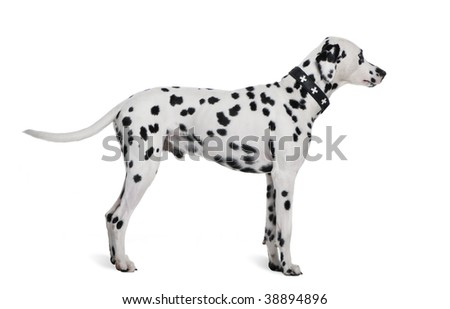 Dalmatian, 2 years old, standing in front of white background, studio shot