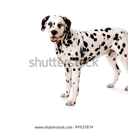 Dalmatian, 5 years old, standing in front of white background, studio shot. - stock photo
