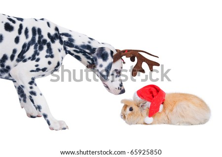 Dalmatians sniffing rabbit in the Santa hat. In the studio