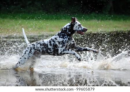 Dalmatiner, Hund,