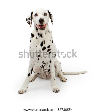 Dalmation dog sitting down on a white background