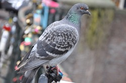 Dam Pigeon settle in Amsterdam
