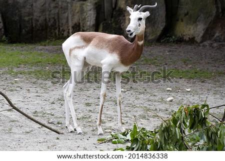 Dama Gazelle, Gazella Dama Dama, is a relatively large slim antelope Foto stock ©