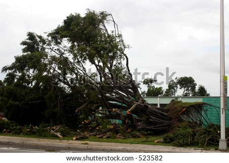 Damage by hurricane Katrina: A tree fell because of high wind, Thursday, Aug. 25, 2005, in Miami Florida.