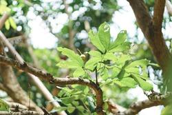 Damage leaf with holes on tree