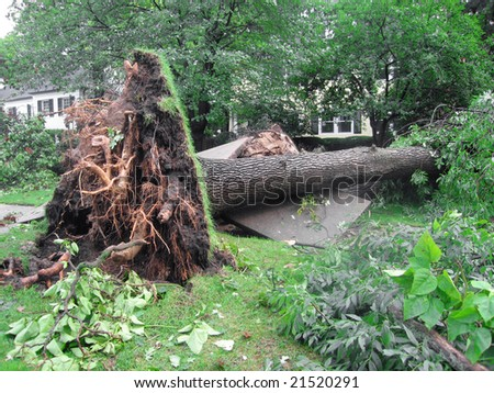 Damage to a tree and sidewalk created by a severe storm. - stock photo