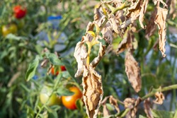damaged by disease and pests of tomato leaves