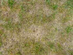 Damaged lawn with bare spots. Patchy grass, lawn in bad condition. Burnt grass after moss attack during cold winter.