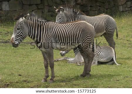 Damara Zebra (equus burchelli antiquorum)