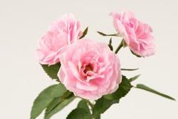 Damask Rose flowers have property medicine.