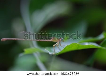 Damflysel resting very still on Ivy gourd's leaf.