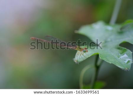 Damflysel resting very still on Ivy gourd's leaf on blurred green foliage background.