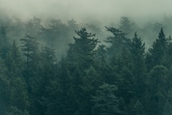 Damp, foggy, and lush Pacific Northwest forest scene