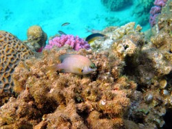 Damsel fish sitting on tropical coral reef. Variety of fish and corals in shallow sea.  Snorkeling with fish, underwater photography. Marine life in warm ocean, aquatic ecosystem.