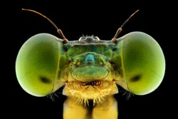 Damsel fly face photo using extreme macro te