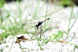 damsel fly on blade of grass