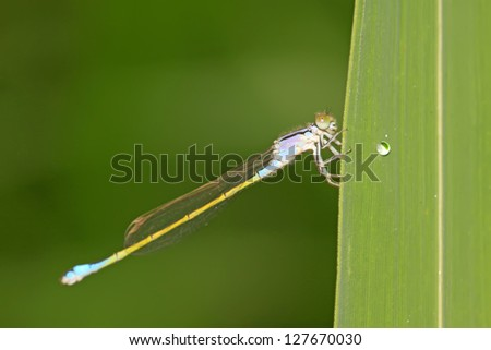 damsel-fly on the grass in the natural state, close up of pictures, Luannan County, Hebei Province, China.