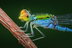 Damselfly close up insect macro photography