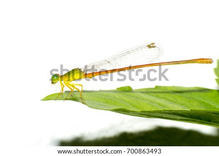 Damselfly,Dragonfly with colorful and beautiful, Scientific Name: Zygoptera,macro insect #700863493