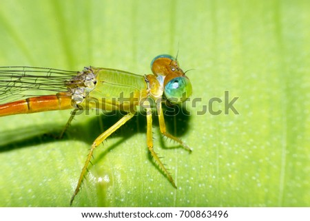 Damselfly,Dragonfly with colorful and beautiful, Scientific Name: Zygoptera,macro insect #700863496