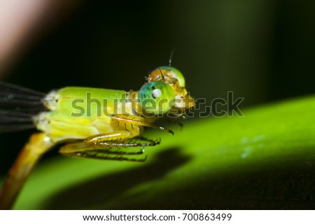 Damselfly,Dragonfly with colorful and beautiful, Scientific Name: Zygoptera,macro insect #700863499