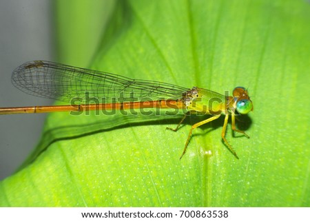 Damselfly,Dragonfly with colorful and beautiful, Scientific Name: Zygoptera,macro insect #700863538