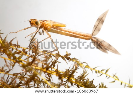 damselfly larvae close up background with copy space