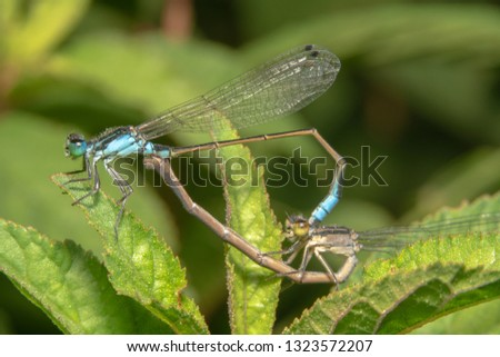 Damselfly mating in early morning. Damselfly mating on leaf/plants #1323572207
