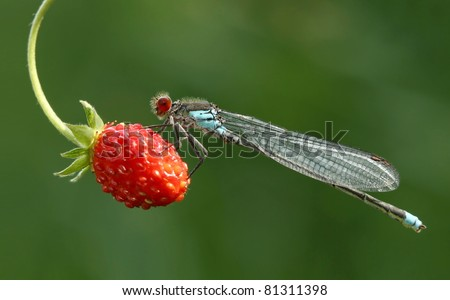 Damselfly on strawberry