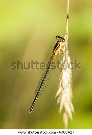 Damselfly perched on a grass stem.