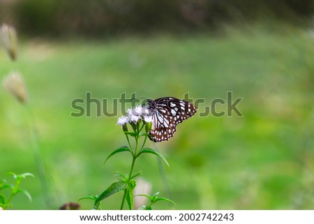 Danainae is a subfamily of the family Nymphalidae, the brush-footed butterflies. It includes the Daniadae,   or milkweed butterflies, who lay their eggs on various milkweeds on which their larvae  Stock photo ©