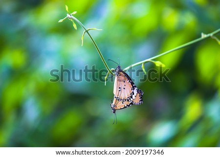 Danaus chrysippus, also known as the plain tiger, African queen, or African monarch, Danainae,  is a medium-sized butterfly widespread in Asia, macro shots, butterfly garden. Stock photo ©