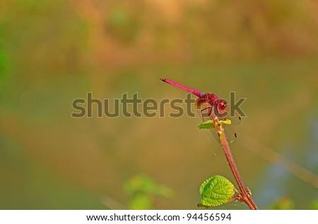 Danaus genutia / the striped tiger (common tiger) butterfly