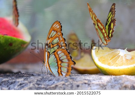 Danaus plexippus in Xcaret, beautiful butterfly eating fruit in famous ecotourism park on the mexican Riviera Maya, Quintana Roo, Yucatan, Mexico. Soft focus. Stock photo ©