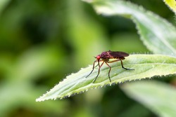 Dance Fly or dagger fly from the family Empididae an abundant harmless flying insect species found in the UK and Europe stock photo image