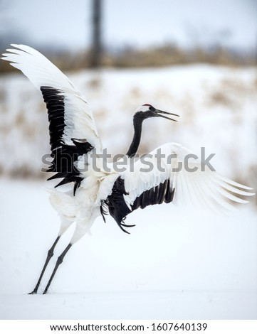 Dance of crane. The red-crowned cranes. Scientific name: Grus japonensis, also called the Japanese crane or Manchurian crane, is a large East Asian Crane.