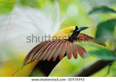 dancing bird of paradise - stock photo