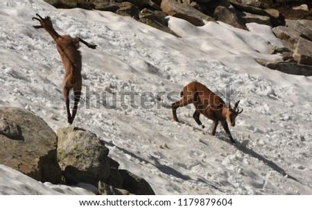 Dancing chamois. Rupicapra rupicapra during mating season. Gran Paradiso National Park