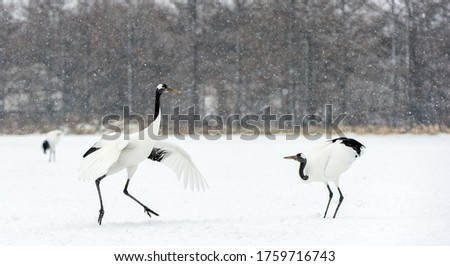 Dancing Cranes. The ritual marriage dance of cranes. The red-crowned crane. Scientific name: Grus japonensis, also called the Japanese crane or Manchurian crane. Natural Habitat. Japan.