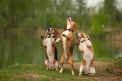 dancing dogs three beagles doing dog tricks outdoor in summer