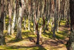 Dancing forest in Curonian Spit National Park. Zelenogradsk, Kaliningrad Oblast, Russia.