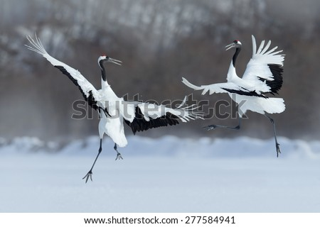 Shutterstock Dancing pair of Red-crowned crane with open wing in flight, with snow storm, Hokkaido, Japan