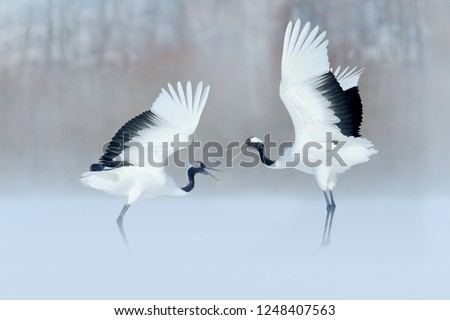 Dancing pair of Red-crowned crane with open wings, winter Hokkaido, Japan. Snowy dance in nature. Courtship of beautiful large white birds in snow. Bird love mating behaviour, animal dance.