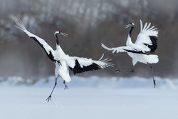 Dancing pair of Red-crowned cranes with open wings in flight, with snowy storm, Hokkaido, Japan.