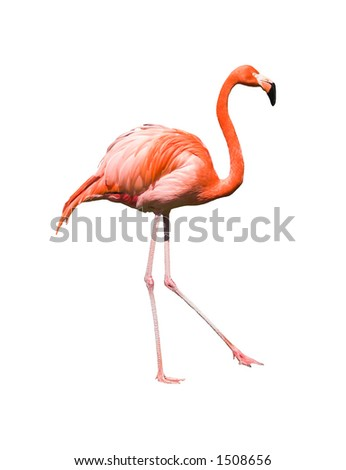 Dancing red caribbean flamingo  isolated on white background. Clipping path included