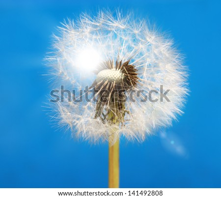Dandelion against blue background.