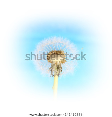 Dandelion against blue background.