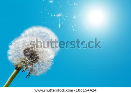 Dandelion against blue sky in spring season