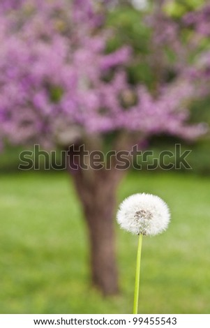 Dandelion against blurry spring blossom background. Concept for allergy season.